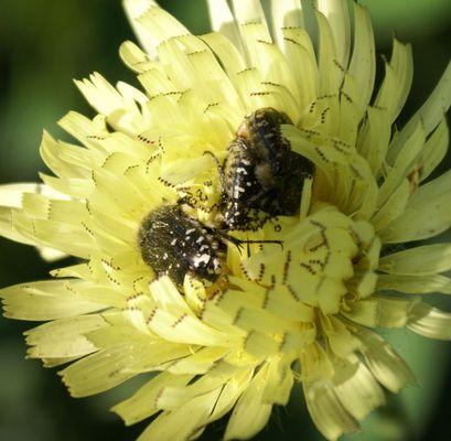 Buprestes dans une fleur de pissenlit