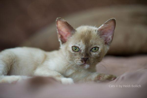 Burma Kitten / 1