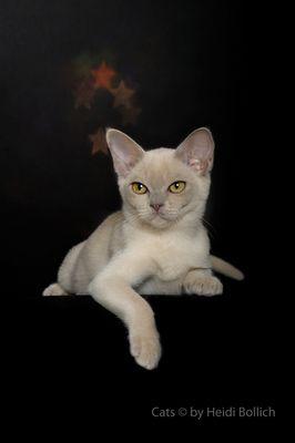 Burma Kitten / 2