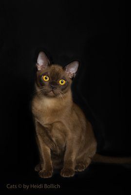 Burma Kitten / 3