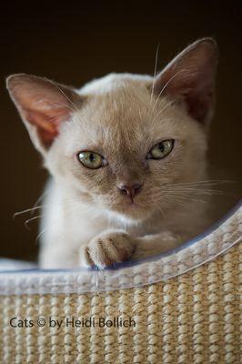 Burma Kitten / 4