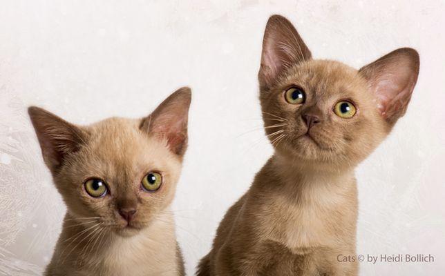 Burma Kittens / 1