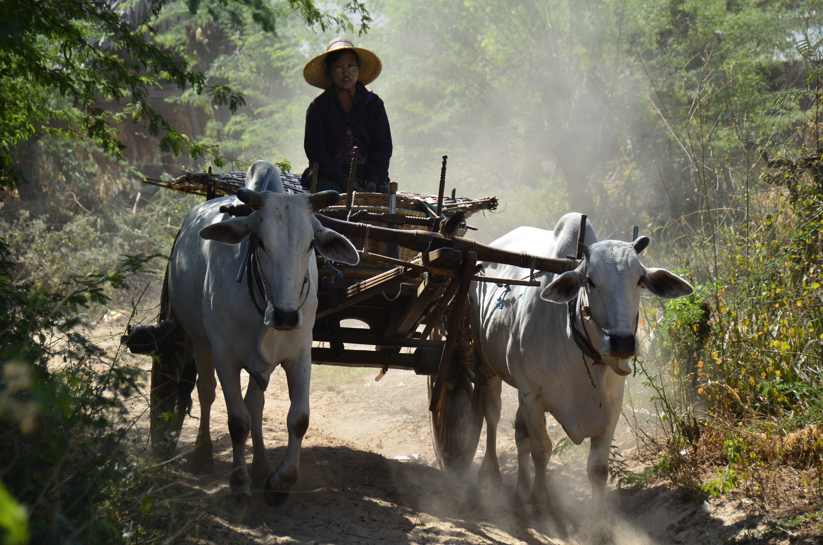 Burmesische Bäuerin mit Zebugespann