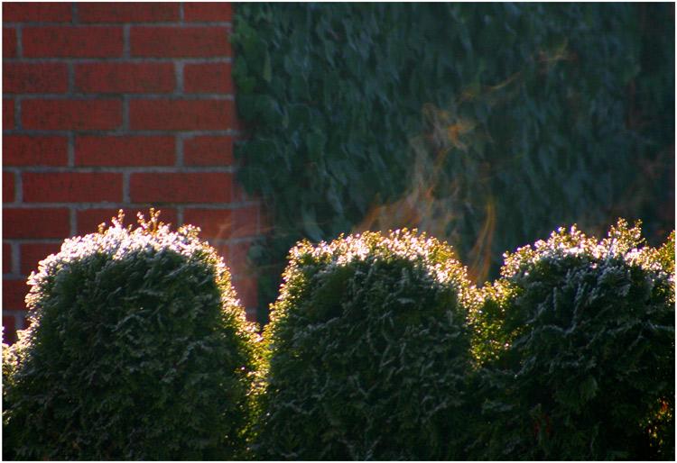 - burning hedge -