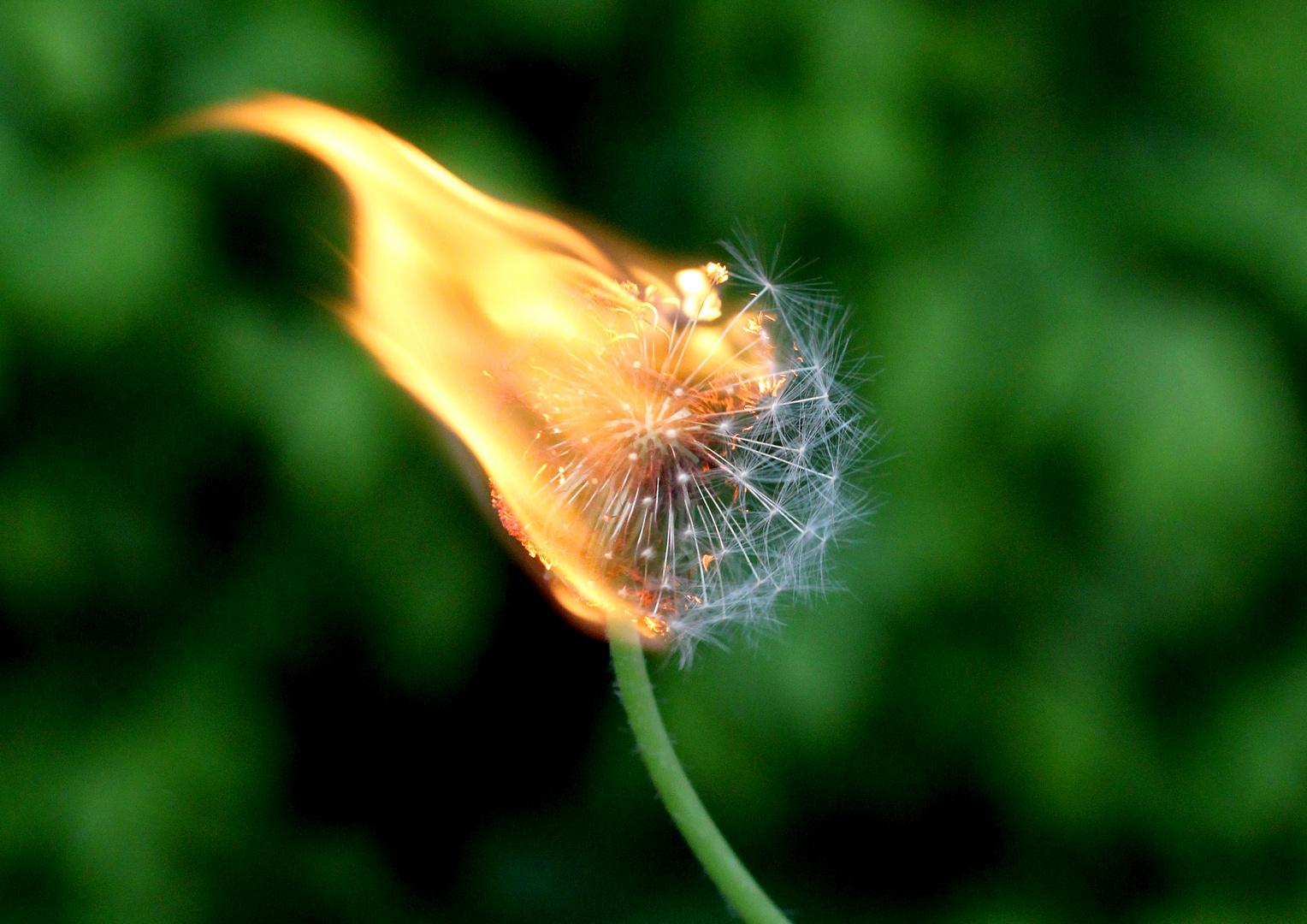 Burning Pusteblume