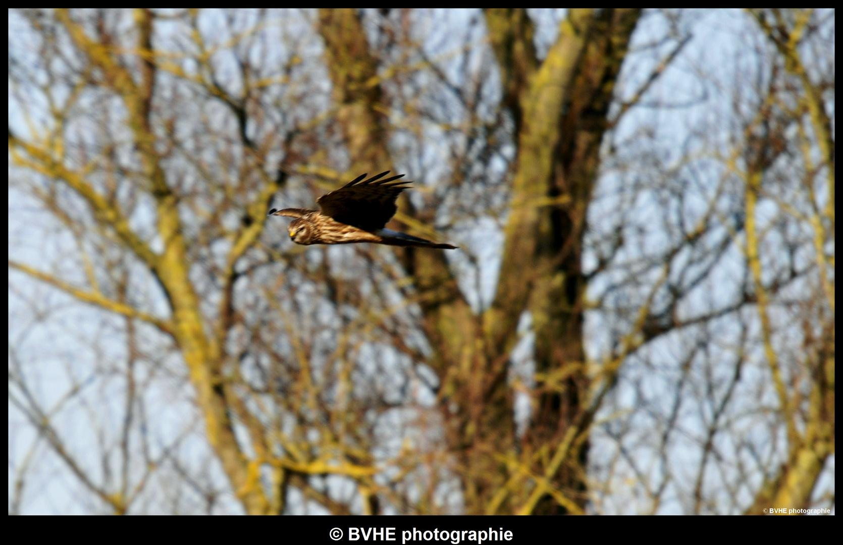 Busard des marais