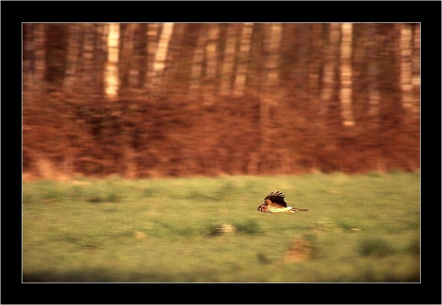 Busard Saint Martin femelle en chasse