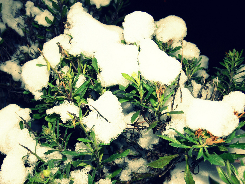 Busch im Schneemantel