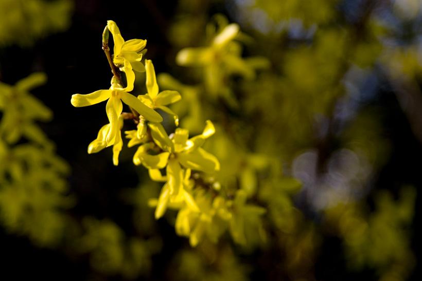 Busch_Blüte im Frühling