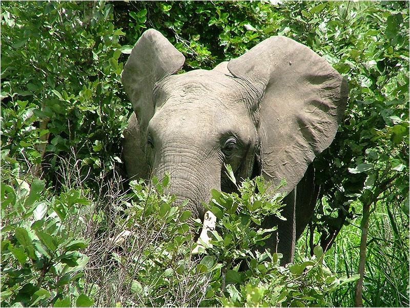 Buschelefant