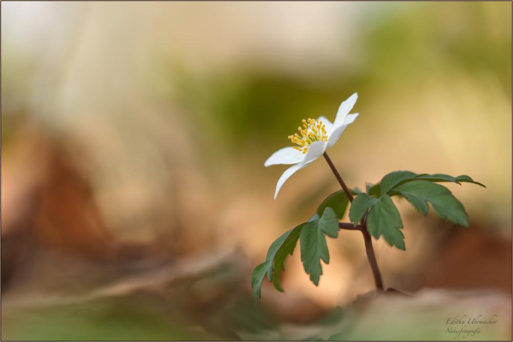 buschwindröschen ( anemone nemorosa )01/14