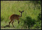 Bushbuck, Murchison Falls NP, Uganda