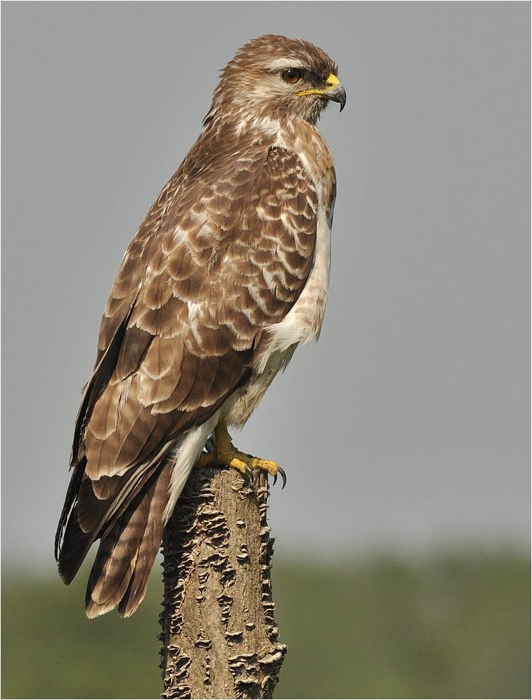Bussard Foto & Bild | tiere, wildlife, wild lebende vögel Bilder auf ...