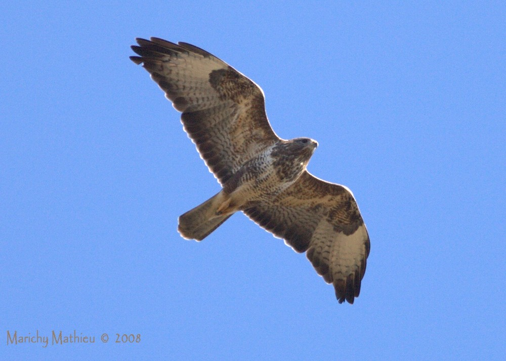 Buteo buteo Buse Variable