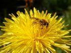 butine petite abeille....
