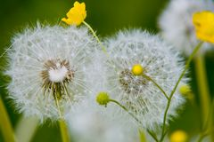 Butterblume an Pusteblume