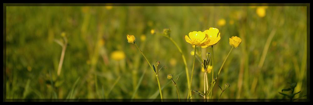 Butterblume butterblümchen