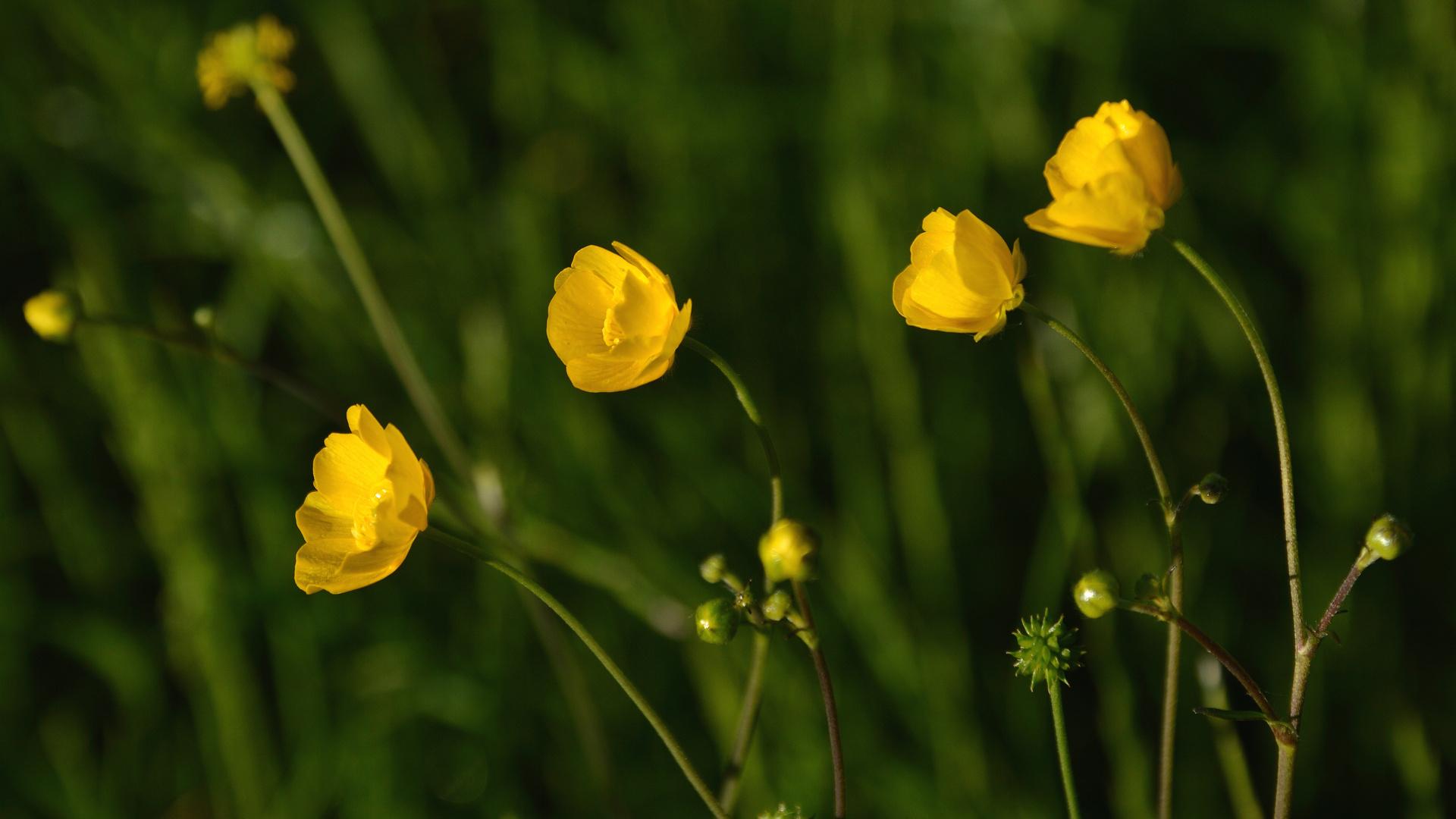 Butterblumen / buttercups