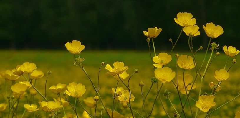 Buttercups parade