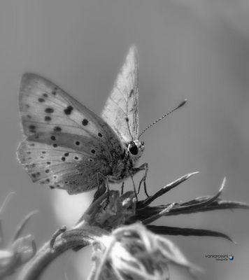 Butterflay b/n