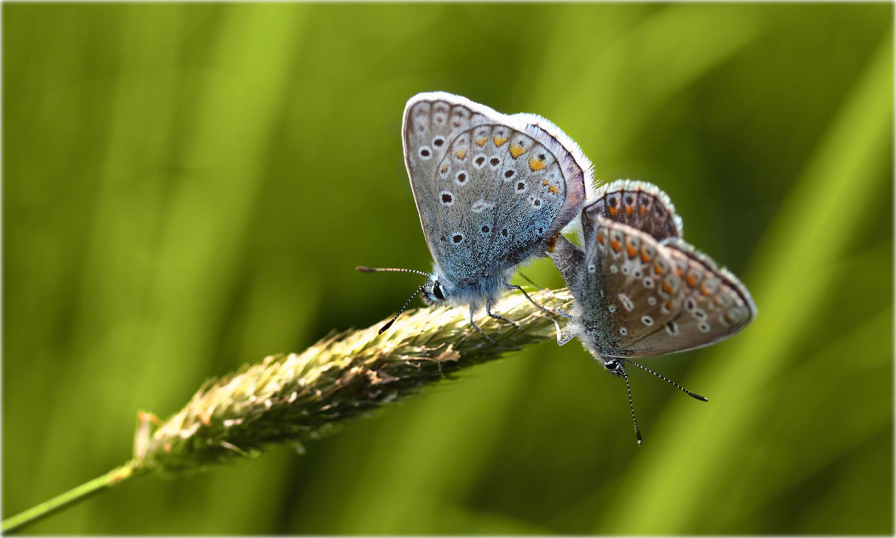 """""""Butterflies in love..."""""""