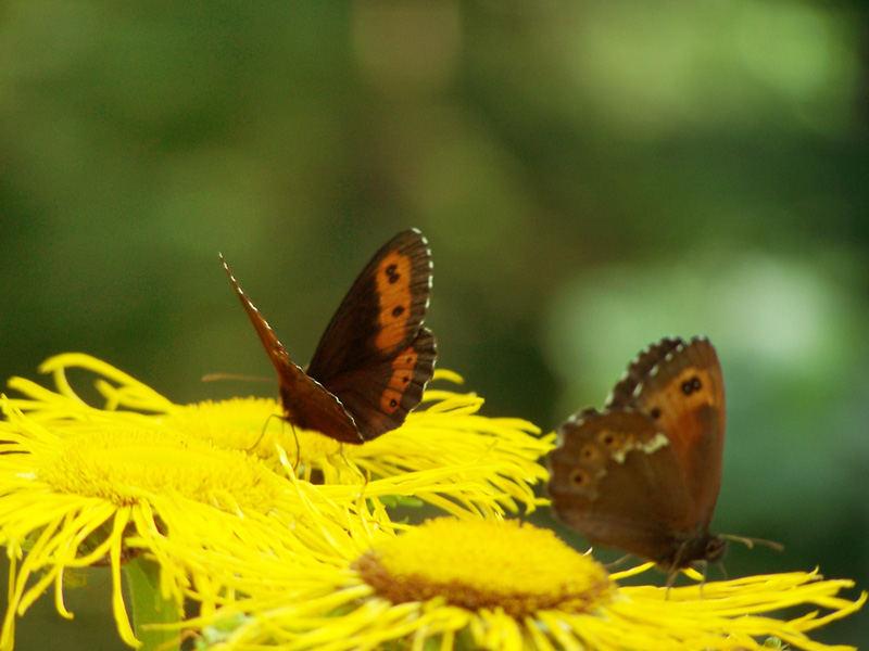butterflies(2)
