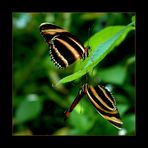 ... butterfly ...