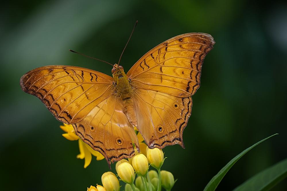 ~ Butterfly ~