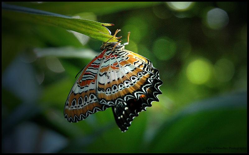 Butterfly [4]