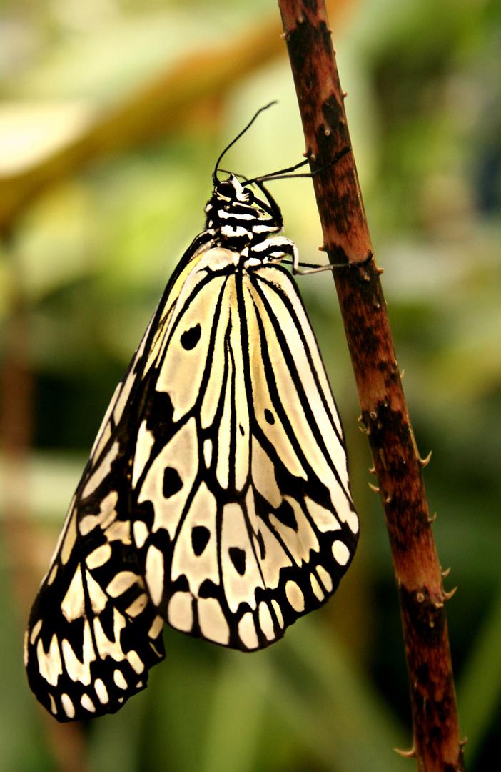 Butterfly !