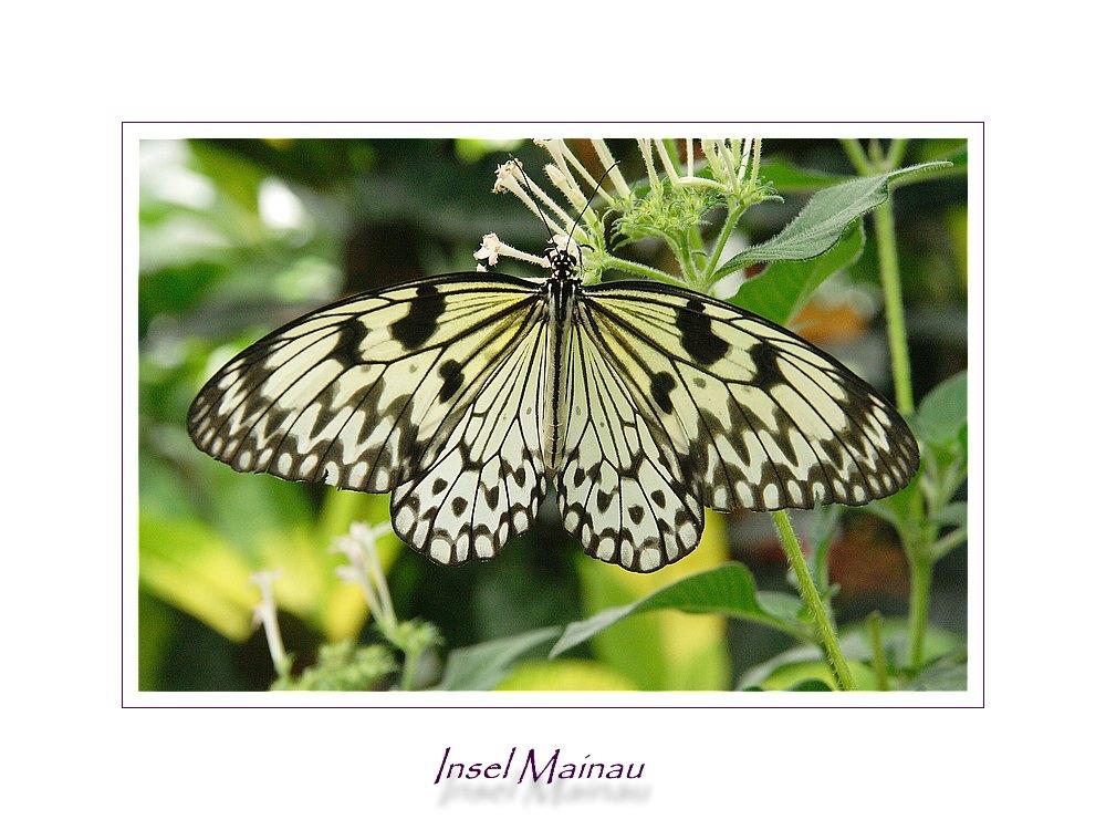 Butterfly, Butterfly....