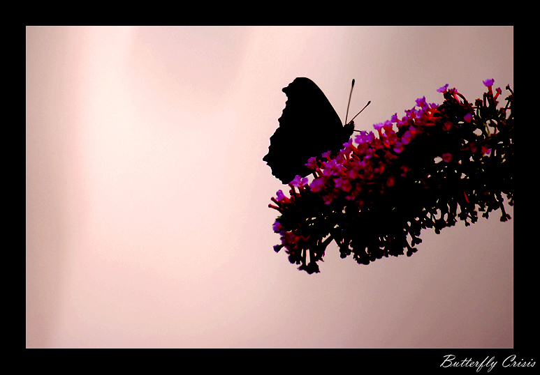 Butterfly Crisis