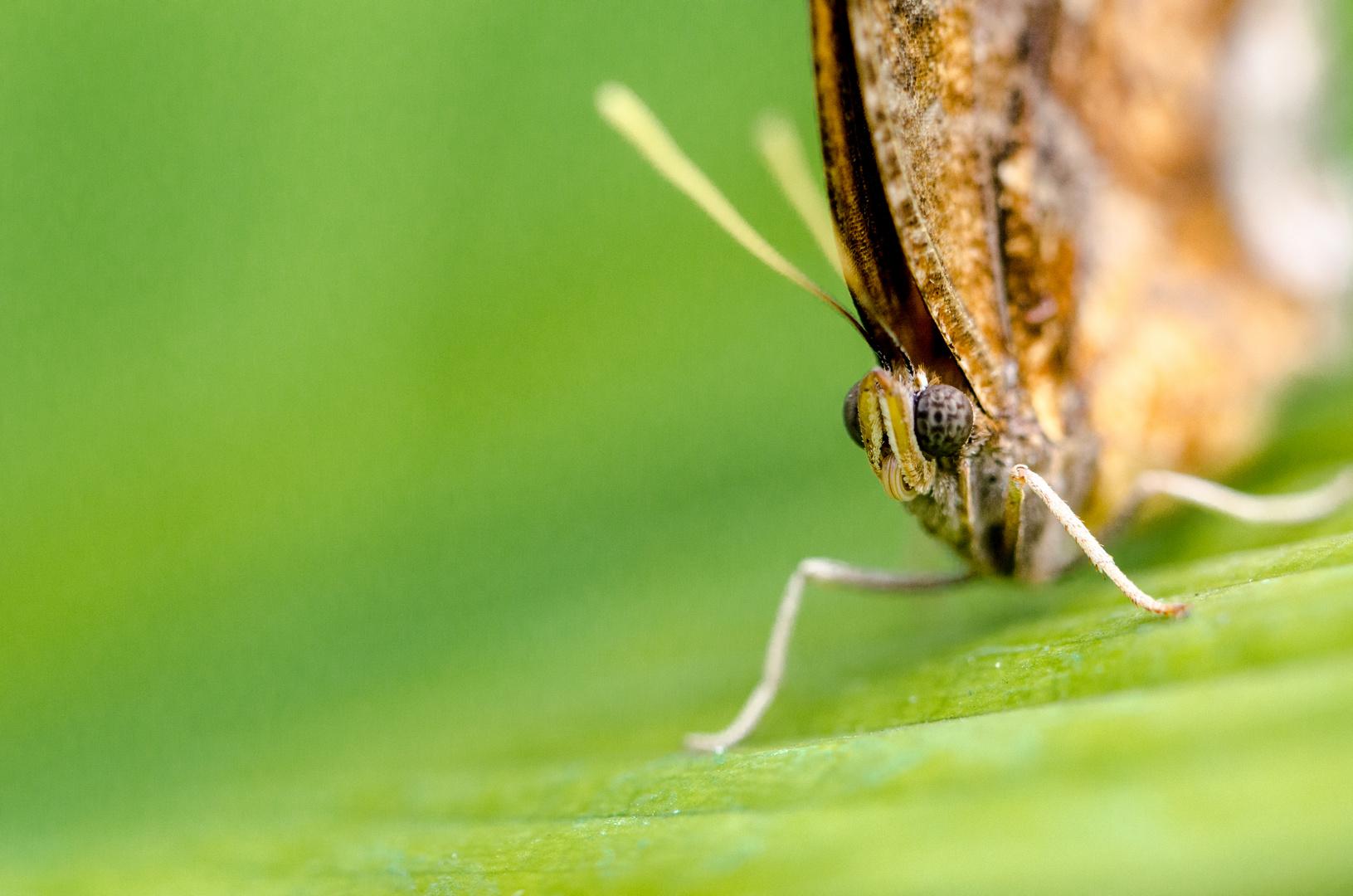 Butterfly Eyes 4