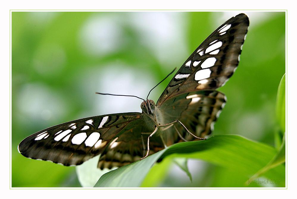 == butterfly II ==