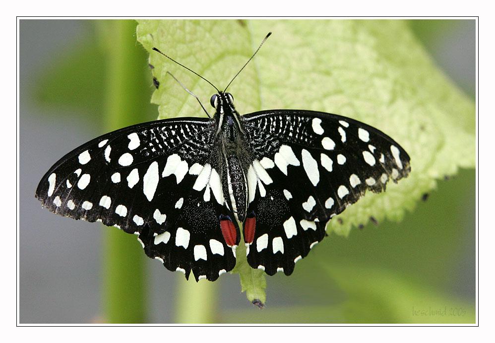 == butterfly III ==