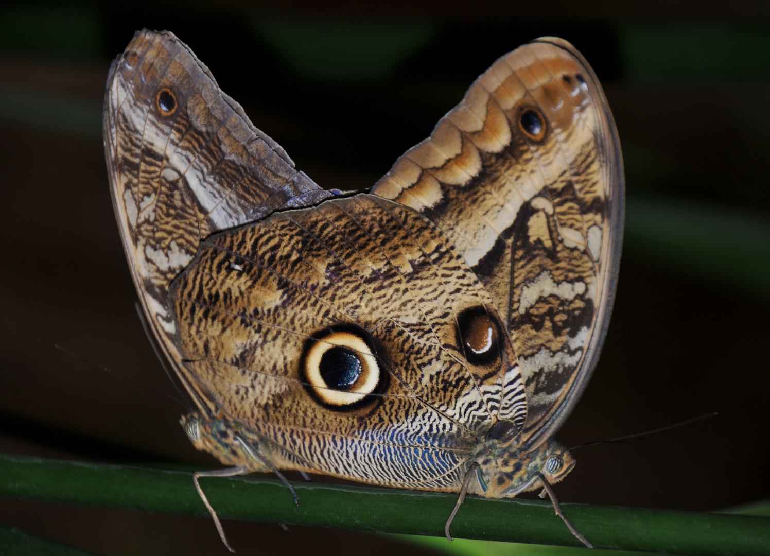 Butterfly im Regenwald