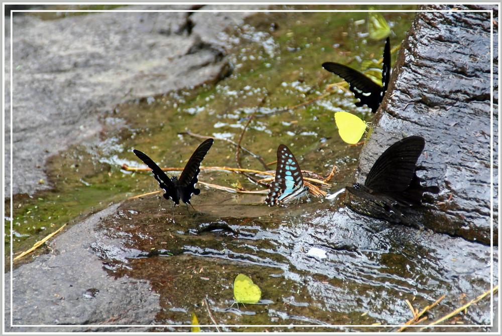 Butterfly in Khao Yai N.P.