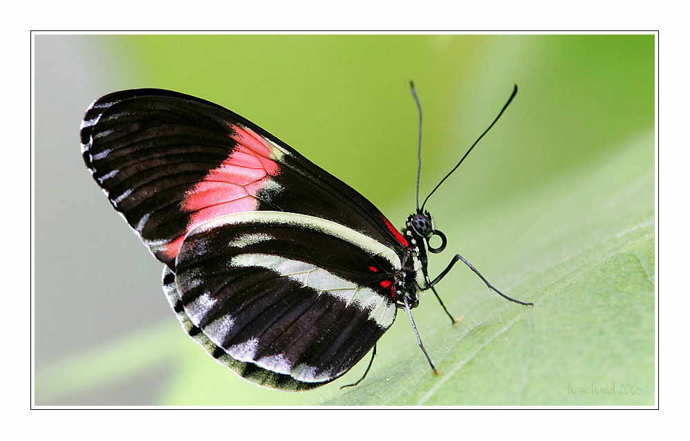 == butterfly IV ==