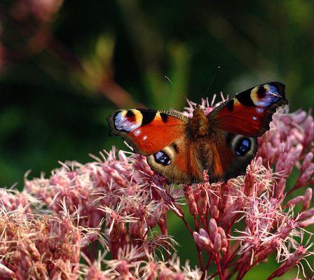 butterfly, my butterfly