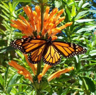 Butterfly on Liontail bush