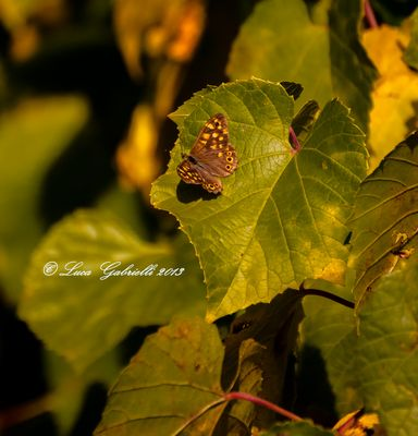 Butterfly on vine leaf