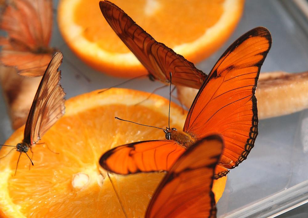 Butterfly Oranje
