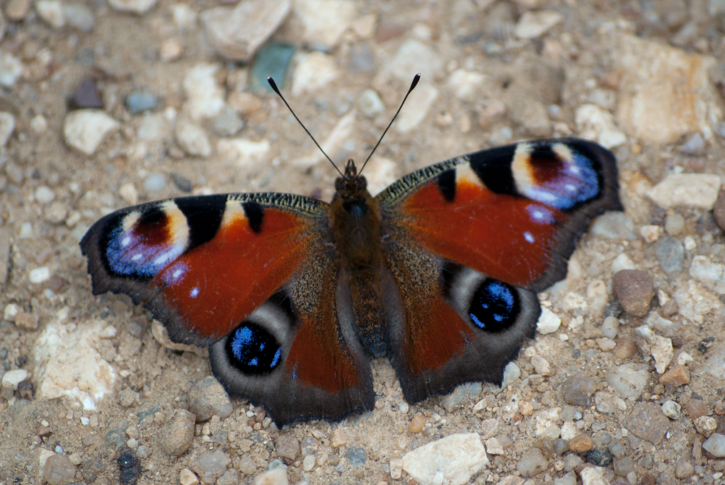 Butterfly - Tagpfauenauge