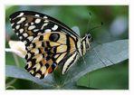 == butterfly V ==