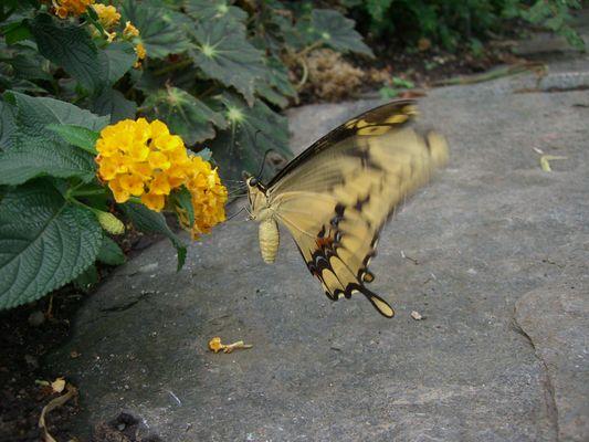 Butterfly...@.... Worke