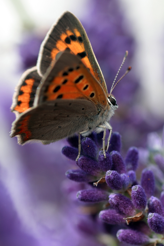 Butterfly Xk