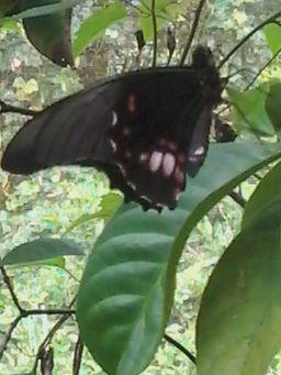 Butterflygarden Lelydorp Suriname