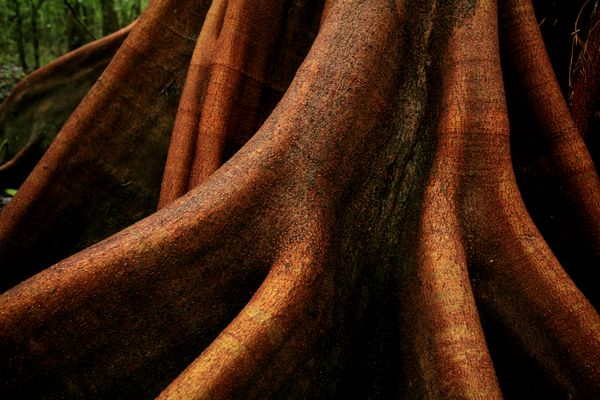 Buttressed root of a tree in the rainforest