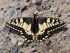 BVB-Schmetterling