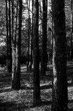 B/W Forest